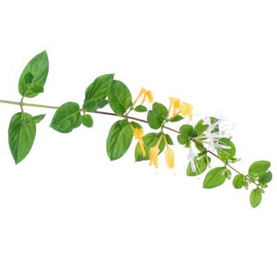 Geissblattblüte